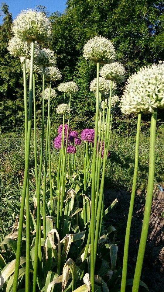 Alliums!!