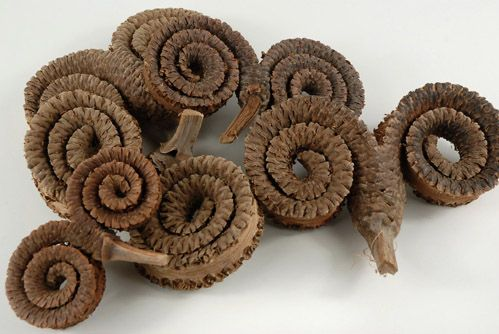 "Natural Rams Head Pods (4-5"") 5 pods for $2.99- would be so cool in our science center. There are other weird looking natural objects, and they are MUCH less than those discount school supplies ones"