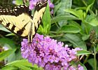 Butterfly Garden Plants - parsley, fennel, dill, milkweed