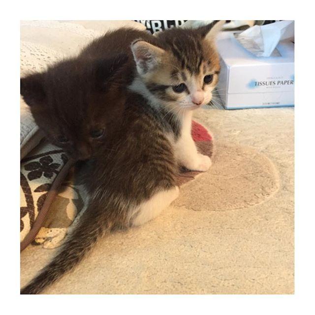 *** #ヨチヨチはなちゃん ② * そして…横にはそらちゃん(இдஇ;) 何処かで元気にしてたら いいんだけどな…ぅぅぅぅ…(இдஇ;) * * #猫#ネコ#cat#愛猫#ノラ猫#はな#はなちゃん#hana#我が家のネコちゃん#我が家のはなちゃん#玄関ネコ#はな日記#babycat#babyhana