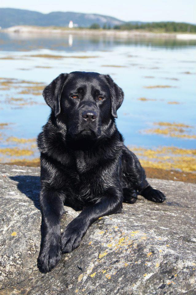 Black And White Labrador Retriever | www.imgkid.com - The ...