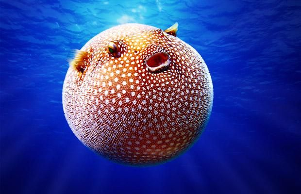 Pacific Ocean Animals | The guineafowl puffer, from the Pacific Ocean. When fully expanded, it ...