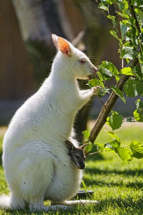 "A White Kangaroo ~ With Her Little ""Joey"" ~ In Her Pouch."