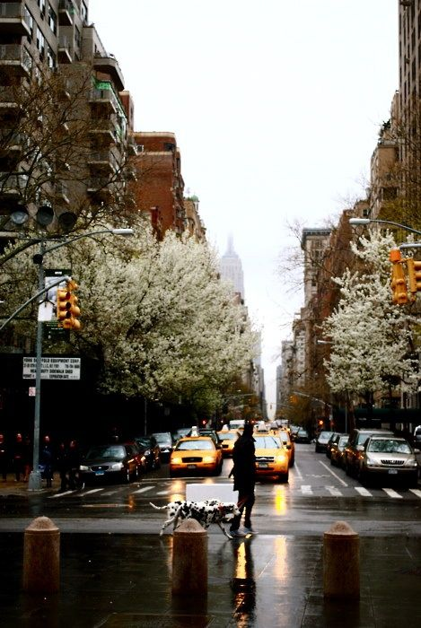 Fifth Avenue in the rain (at Washington Square, looking north), NYC and those FLOWERING PEAR TREES, heaven!