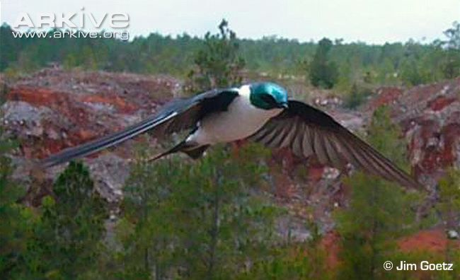 golden swallow bird   Golden swallow videos, photos and facts - Tachycineta euchrysea ...