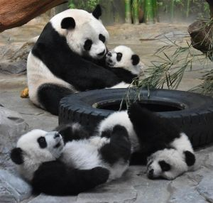 pretty panda family playing