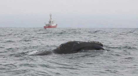 Restored Haida Ocean Pasture Sees Rarest Of All Whales Return. The Pacific Right Whale hasn't been seen in Canadian waters for 60 years... but they have now returned to the ocean pasture west of Haida Gwaii...