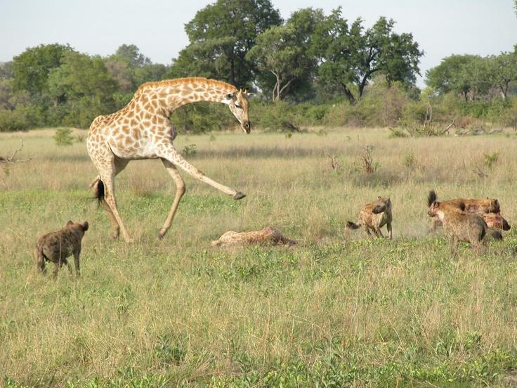 Beautiful Giraffe Snapshots In The Forest