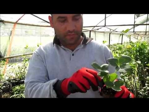 Çilek Fidesi Nasıl ve Ne Zaman Dikilir Çilek Fidesi Satışı - YouTube