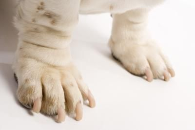 If your dog licks and chews his feet, he may have dry skin, allergies or irritating scrapes causing discomfort. Adding Epsom salts to a warm bath relieves inflammation and pain when absorbed through the skin.  1. Fill bathtub with lukewarm water to a level just above your dog's paws. 2. Dissolve 2-3 cups Epsom salts to water. Stir the water with your hand to distribute. 3. Don't let him drink the water. Keep him in the tub for at least 5-10 minutes to soak paw(s). 4.  Repeat daily as needed.
