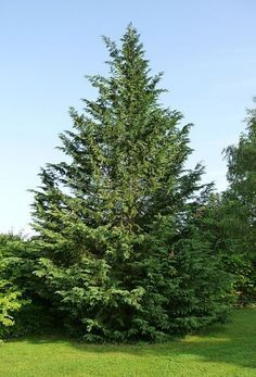 Leyland Cypress trees are the most popular tree for privacy screening. Not only to they provide privacy, they are hardy and beautiful to look at. And they grow extremely fast.