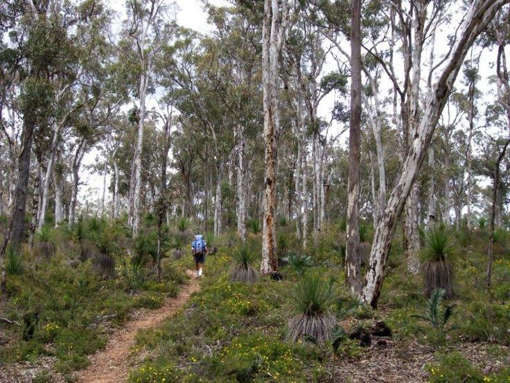 Silvertops at Wandoo Forest