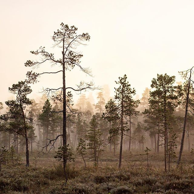 Photo by Terhi Tuovinen  Finnish Lapland. Nights in a swamp picking cloudberries, I've been missing you so much