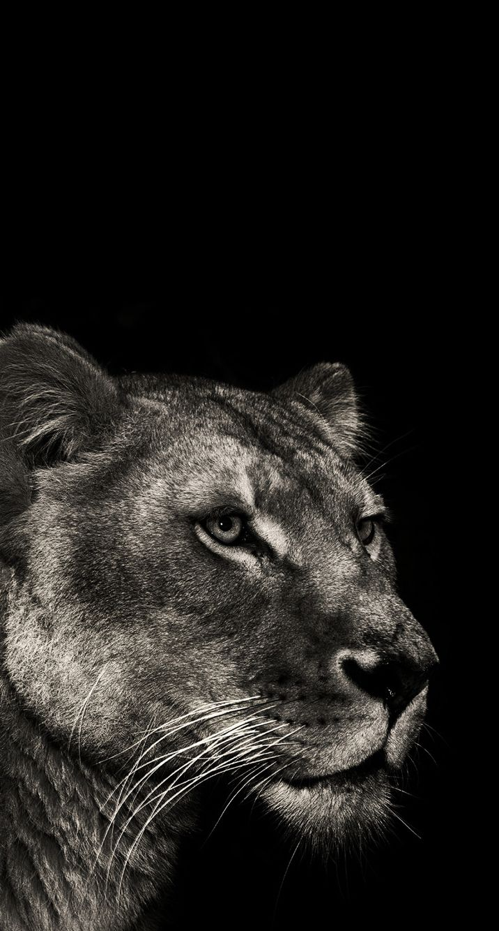 Lone Wolf Wallpaper Quote Lioness Wallpaper Wallpapers Lion Wallpaper Lioness