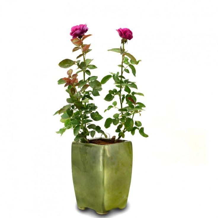 Mawar Ungu / Rosa SP.  Kebutuhan Sinar Matahari : sepanjang hari Ukuran Pot Minimal : diameter 20-30cm Penyiraman : sehari 1 x Informasi Tambahan : aroma bunga wangi