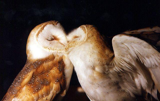 {kissing Barn Owls} awwwww. sweet!