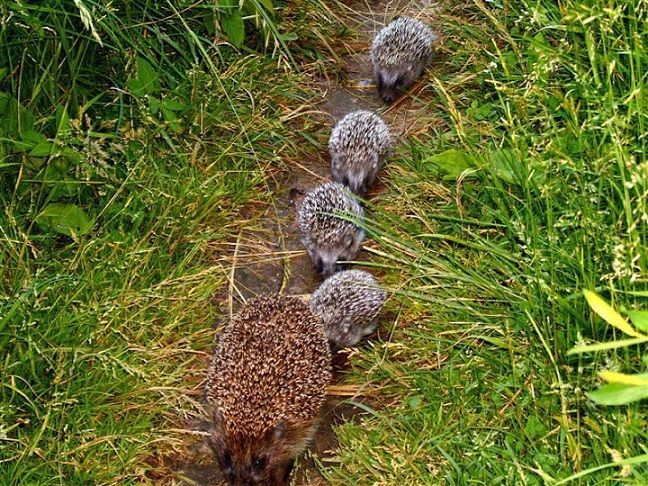 Sweet little hedgies all in a row...