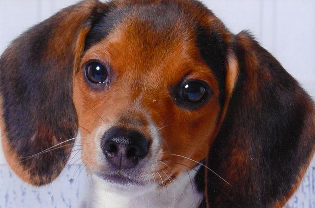 Pocket Beagle Puppies Beagle Puppy Pocket Beagle Puppies Pocket Beagle