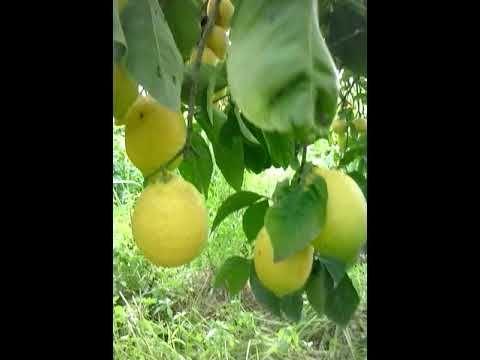 Dwarf Meyer Lemon Tree garden
