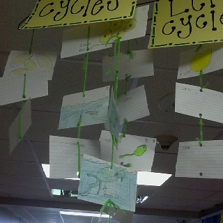 Students created a life cycle mobil of a fish, frog and chicken.