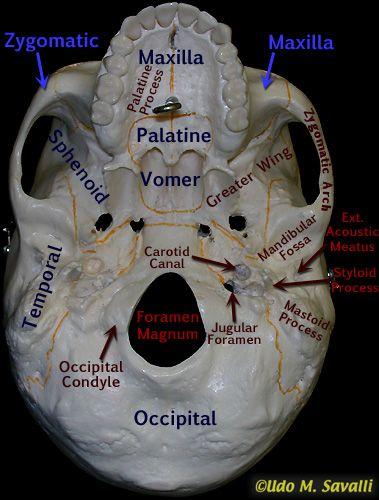 Bottom of skull labeled Dental anatomy Medical anatomy