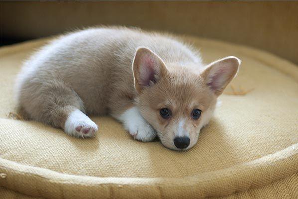 Cheap Marvelous Mini Fluffy Welsh Corgi Puppies For Sale Near Me Corgi Puppies For Sale Under 600 Happy S In 2020 Small Dogs For Sale Corgi Puppies For Sale Corgi