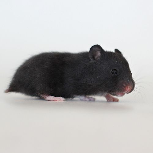 black syrian hamster - Google Search