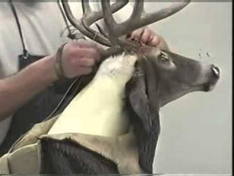 24 best taxidermy ideas and diy images on pinterest taxidermy taxidermy video shoulder mounting a whitetail deer solutioingenieria Choice Image
