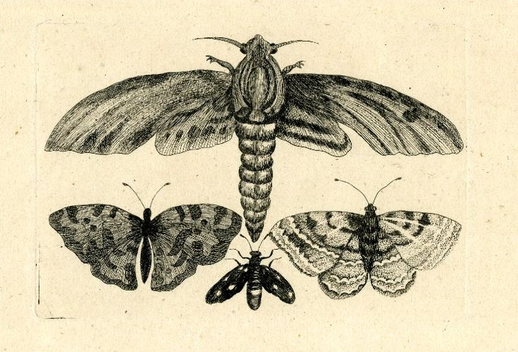 Moth and three butterflies; large moth with widespread wings above, three butterflies also with widespread wings below; copy in reverse after Hollar.  Etching