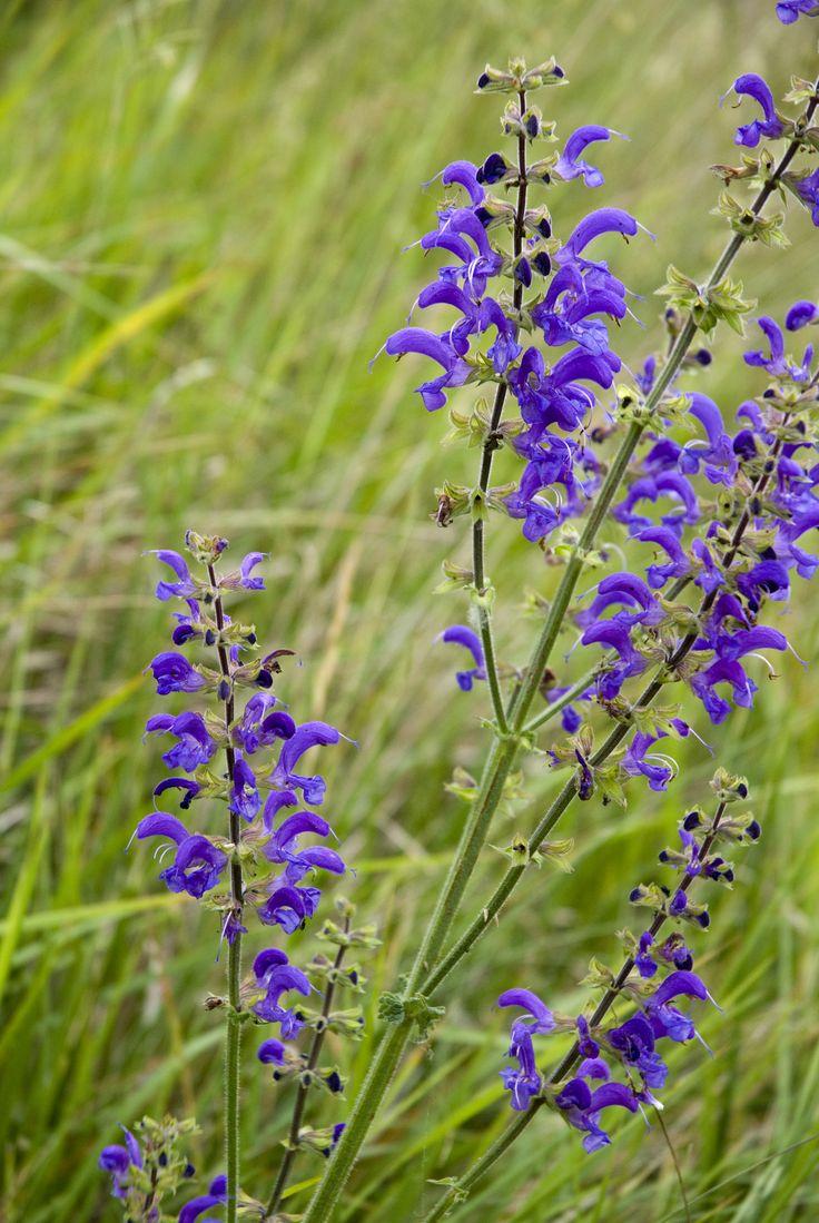 salvia pratensis / Lamiaceae / H / négymakkocska