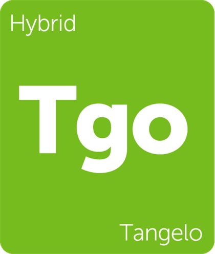 Tangelo (not to be confused with Tangelo Kush) is the sour citrus offspring of Tangerine Sunrise and Gorkle (The Fork x Rebel God Smoke). With obvious notes of tropical fruit and an unmistakable tangerine/orange juice aroma, Tangelo offers bright, pleasurable aromas and flavors worth sharing.