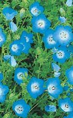 Baby blue eyes Nemophila - Annual