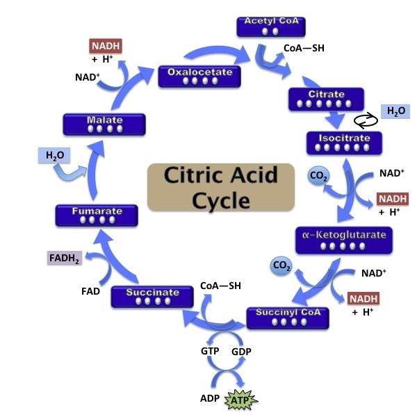 citric acid cycle essay example Review the definition of the citric acid cycle during the cycle, the citric acid molecule is rearranged and stripped of 10 examples of chemical reactions in.