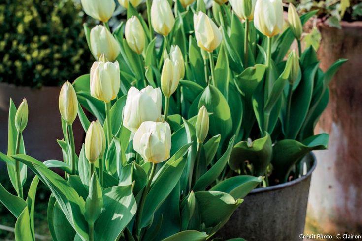 Les 25 meilleures id es de la cat gorie tulipes blanches Achat de plantes par correspondance