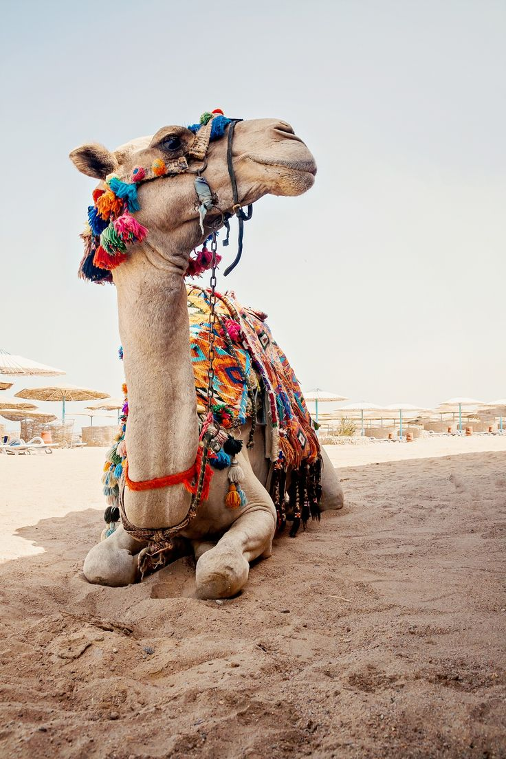 Sharm el Sheikh, Egypt. | If you want to experience riding a camel in the desert, then Sharm el Sheikh is a great place to start. From the Naama Desert, just 15 minutes away, to a full-day adventure in the Sinai Desert, opportunity abounds for every kind of traveler.