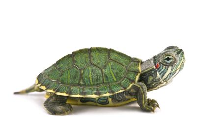 Red Eared Slider - I have not found one yet, but they look really cool.