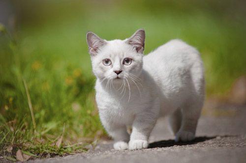 Races de chat bizarres - Chat Munchkin En raison d'une mutation génétique naturelle, le Munchkin a des pattes anormalement courtes par rapport aux autres félins, mais ça ne l'empêche pas de vivre sa vie de chat. Il court, saute et grimpe