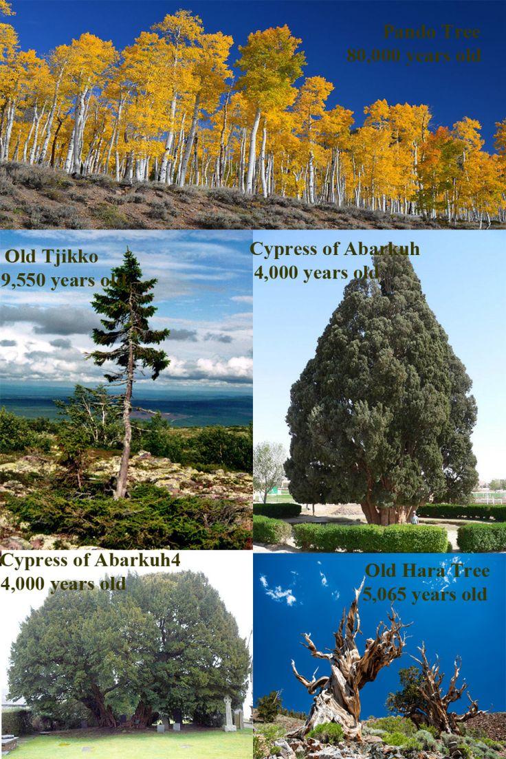World's Oldest Living Trees