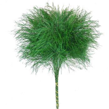 Tree fern - Greens