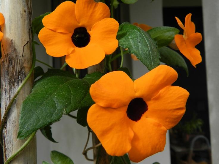 Wisteria alata in my garden -ojo de poeta.