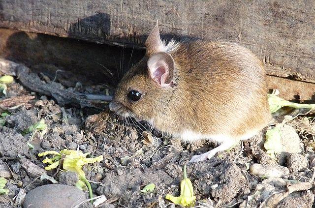 Do Mice Hibernate