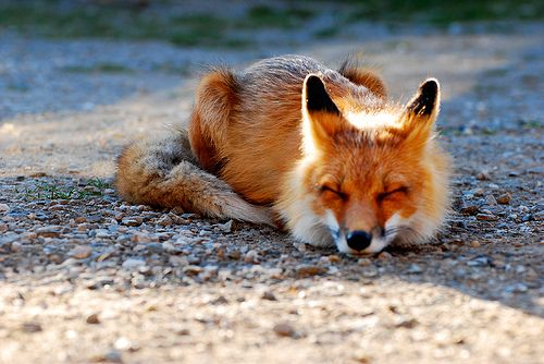 : Wild, Animals, Things, Foxes, Foxy, Photo, Red Fox
