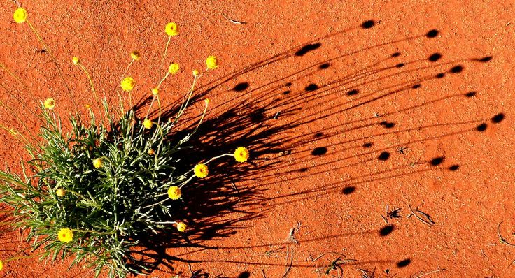Desert wild flowers in Australia's Red Centre