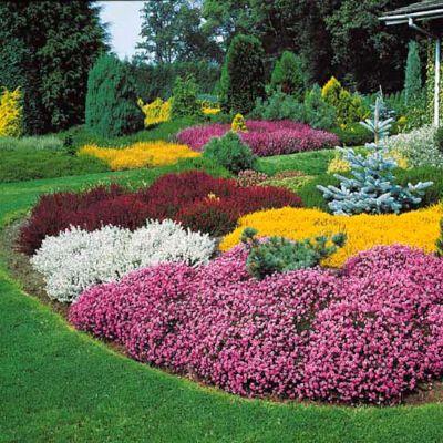 Bruyères d'hiver - Persistantes, tapissantes, florifères, elles font merveille en rocaille, en bordure ou même en pot. Peu exigeantes, elles se plaisent dans tout bon sol de jardin sans nécessiter d'entretien particulier.