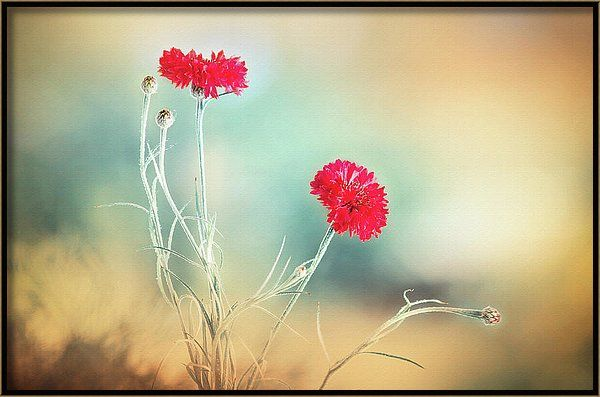 Canvas Print featuring the photograph Summer Scent by Larysa Koryakina.  Photography Art design for Office and Home Decor. Available in many sizes and in Acrylic, Metal, Canvas, Framed and Standard Print. Also as a Greeting Card.