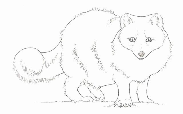 Arctic Fox Coloring Page New Arctic Fox Easy Coloring Pages Fox Coloring Page Spider Coloring Page Animal Coloring Pages