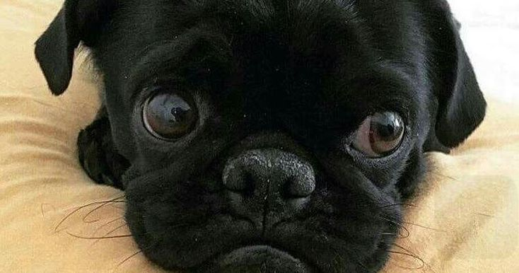 This pug will make you laugh come check him out please take a minute and help support a great breed of dog and subscribe for free to pugs fo...