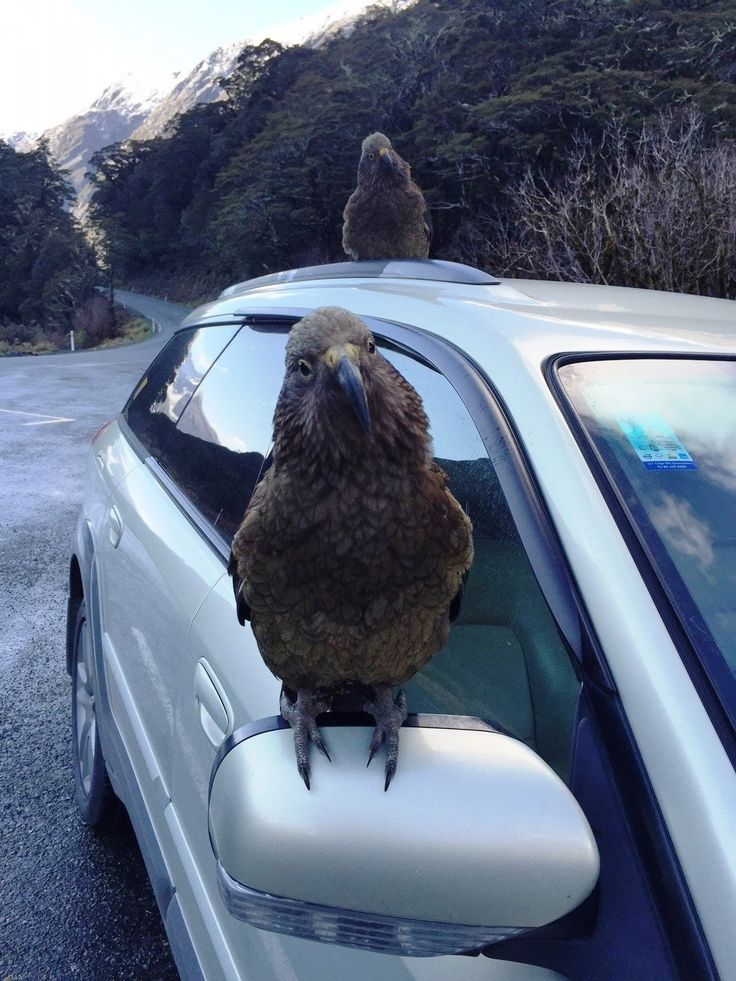 Just a couple of cheeky kea, casually eating Jimmy's work car on the way into Milford Sound