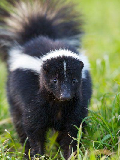 Best 25 Skunks Ideas On Pinterest Skunk Pet Baby
