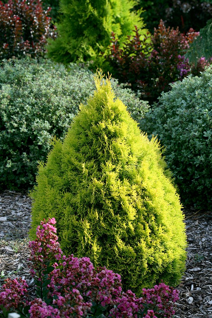 Conifer Garden Ideas amazing low maintenance conifer gardens google search Filips Magic Moment Arborvitae Thuja Occidentalis Is An Easy To
